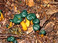 Leotia viscosa 20040822.jpg