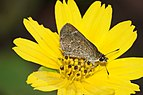 Lepidoptera 04449.JPG