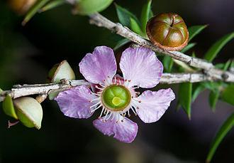Leptospermum - Leptospermum squarrosum