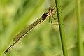 Lestes.viridis.-.lindsey.jpg