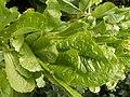 Lettuce (3741604139).jpg