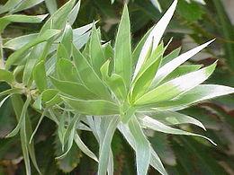 Leucadendron argenteum0