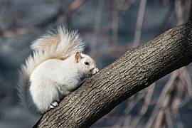 Leucistic Squirrel (30-366) (24086649134).jpg