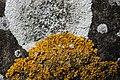 Lichen (29649709657).jpg