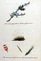 Lichen physodes — Flora Batava — Volume v11.jpg