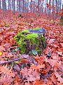Lichens on a tree stub on Mount Cholomontas.JPG