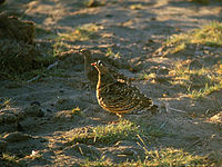 Lichtenstein's sandgrouse Loyangalani.jpg