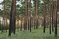 Lieberoser Heide Pinus sylvestris 26.JPG