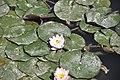 Lillies - Isfahan Flower Garden (4598311654).jpg