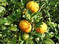 Limón mandarino Popayan Colombia.JPG