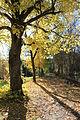 Lind ved Bassengparken på Gjøvik.JPG