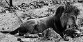 Lion Image.jpg