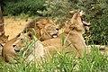 Lion grooming lioness (9342819283).jpg