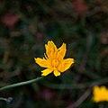 Liondent d'automne-Leontodon autumnalis-Fleur nc-Tourbière flottante-20141011.jpg