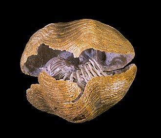 Brachiopod - A fossil of Spiriferina rostrata with visible brachidium (lophophore support)