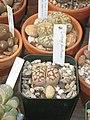 Lithops dorotheae - Tower Hill Botanic Garden.JPG