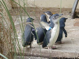 Little Penguin (Eudyptula minor).jpg