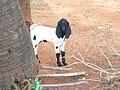 Little back and white goat.jpg