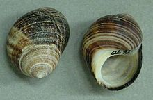 Two shells of the common periwinke Littorina littorea