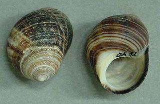 <i>Littorina</i> genus of molluscs