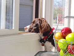Liver and white brittany.jpg
