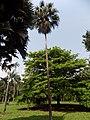 Livistona chinensis - Arbre.jpg