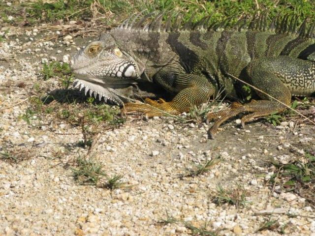 Lizard in Florida