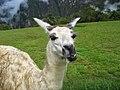 Llamas en Machu Picchu - 12.jpg