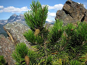 Fire ecology - Lodgepole pine cones