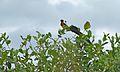 Long-tailed Paradise-Whydah (Vidua paradisaea) (6021663223).jpg