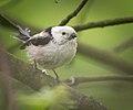Long-tailed tit (34325997310).jpg