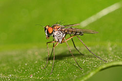Long legged fly.jpg