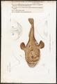 Lophius piscatorius - 1700-1880 - Print - Iconographia Zoologica - Special Collections University of Amsterdam - UBA01 IZ13600183.tif