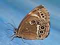 Lopinga achine - Woodland brown - Крупноглазка (40269403825).jpg