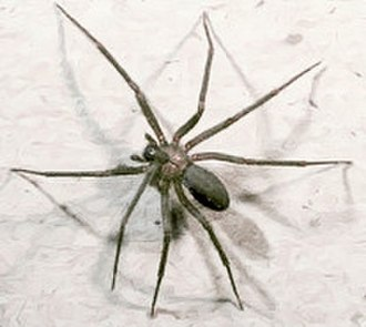 Brown recluse spider - The brown recluse.