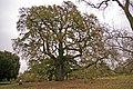 Lucombe Oak (Quercus x hispanica 'Lucombeana' ) - geograph.org.uk - 1186324.jpg