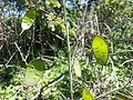 Lunaria annua sl7.jpg