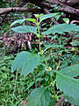 Lycopus virginicus - Virginia water horehound.jpg
