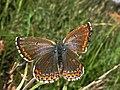 Lysandra bellargus ♀ Polyommatus bellargus (9081152620).jpg