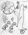 "M. Malpighi, ""Formatione pulli..."", 1687 Wellcome L0000171.jpg"