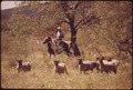 MEMBER OF A LEAKEY, TEXAS, AREA RANCH FAMILY ROUNDS UP SHEEP FROM HORSEBACK NEAR SAN ANTONIO - NARA - 554885.tif