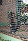 Macaco Aranha Cara Vermelha 310710 REFON 2.JPG