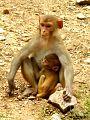 Macaque monkey at Sariska Tiger Reserve.jpg