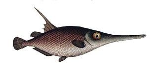Macroramphosidae family of fishes