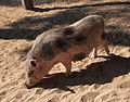 Madrid Zoo - pig.jpg