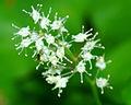Maianthemum bifolium - flowers.jpg