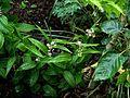 Maianthemum scilloideum roseum BSWJ 10335 - Flickr - peganum.jpg