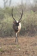 Majestic Spotted deer @ Bandipur 02.jpg
