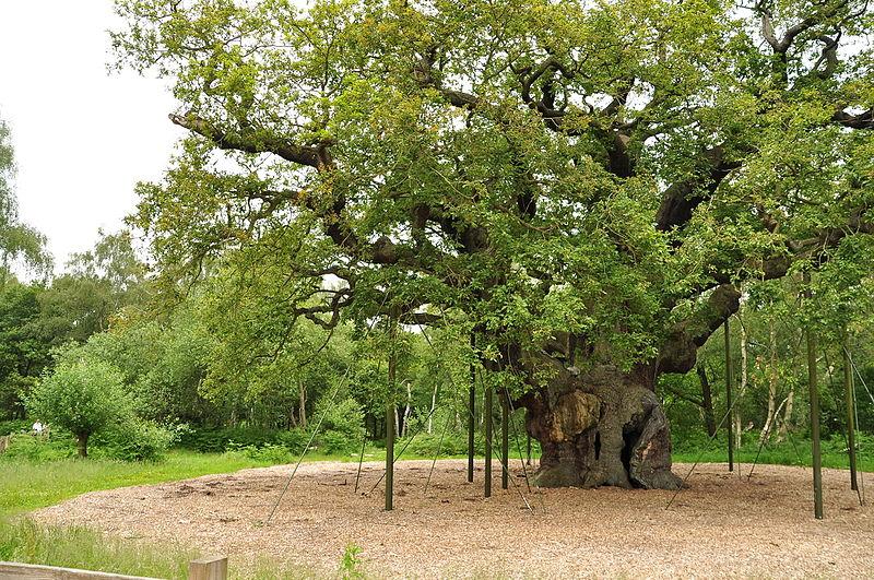 File:Major Oak (9500).jpg