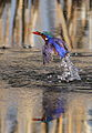 Malachite Kingfisher, Alcedo cristata at Marievale Nature Reserve, Gauteng, South Africa (21362037825).jpg